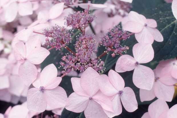 hydrangea-macrophylla-veitchii-2