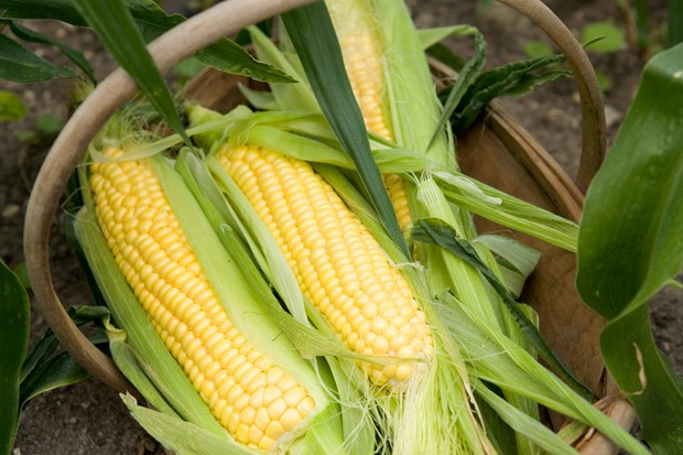 How to harvest sweetcorn - harvesting the cobs