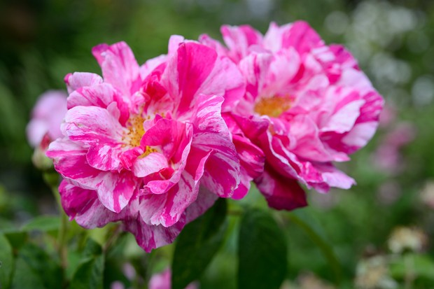 Dark and pale pink striped Rosa gallica 'Versicolor'