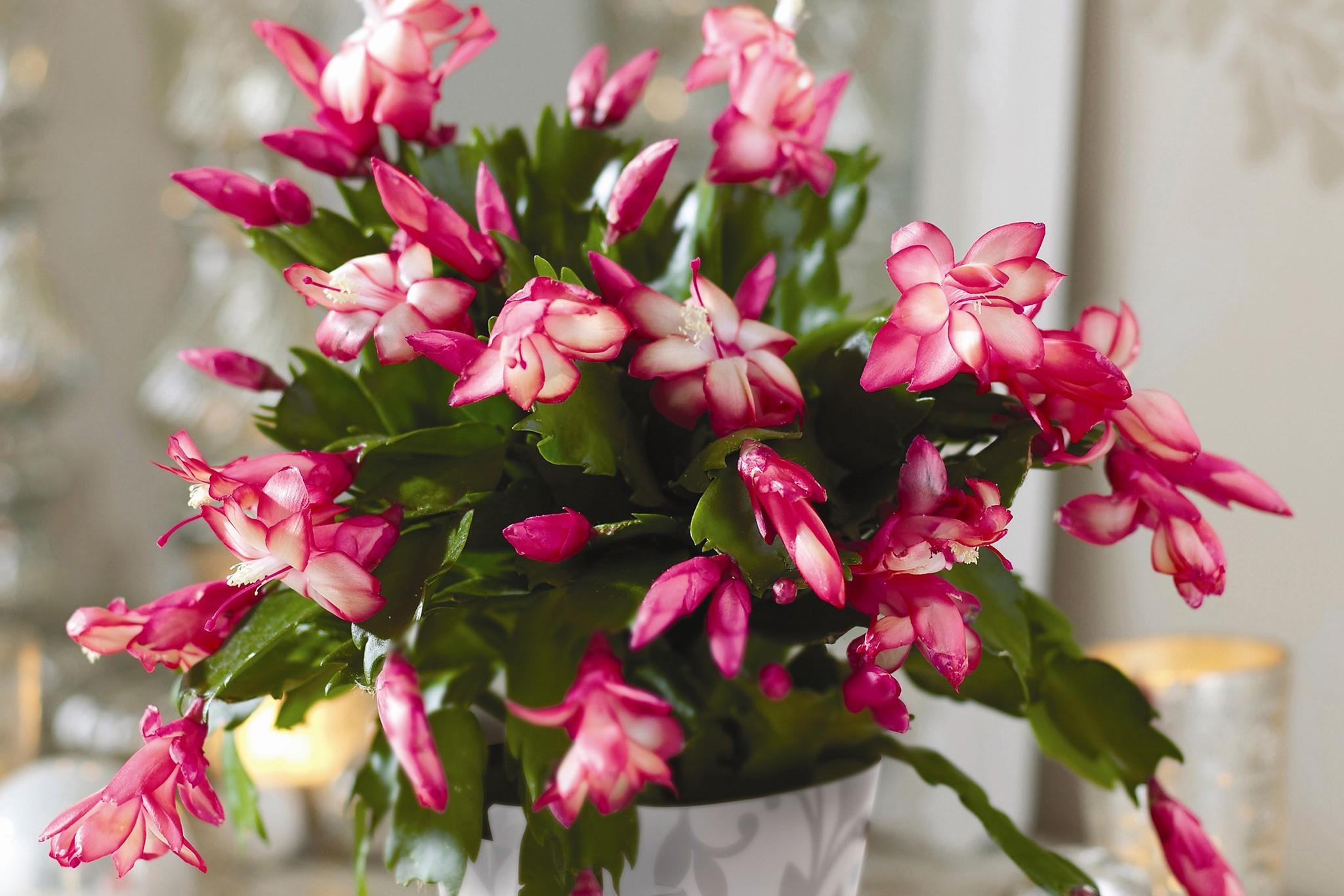 Pink-flowered Christmas cactus
