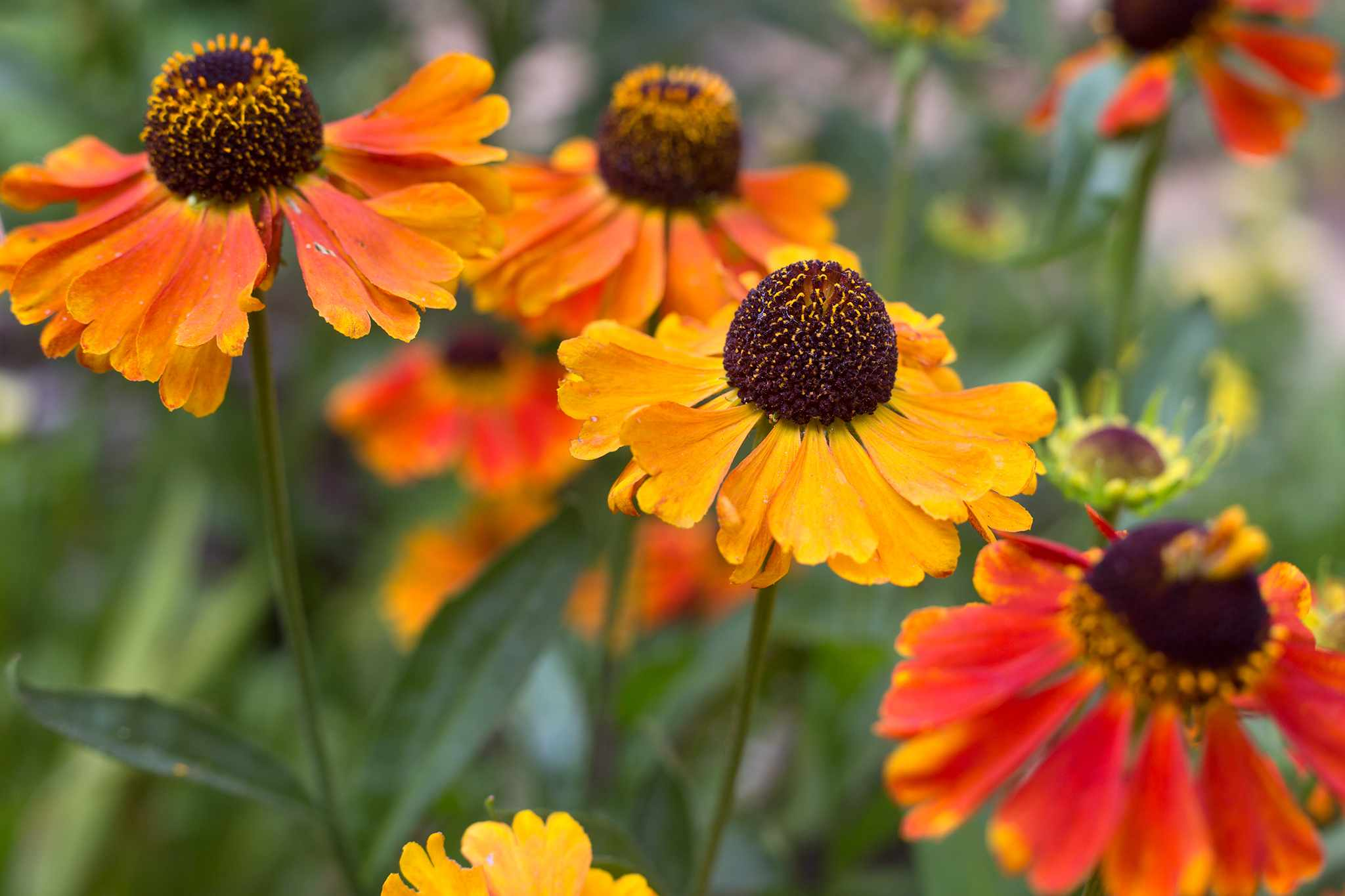 Heleniums in flower