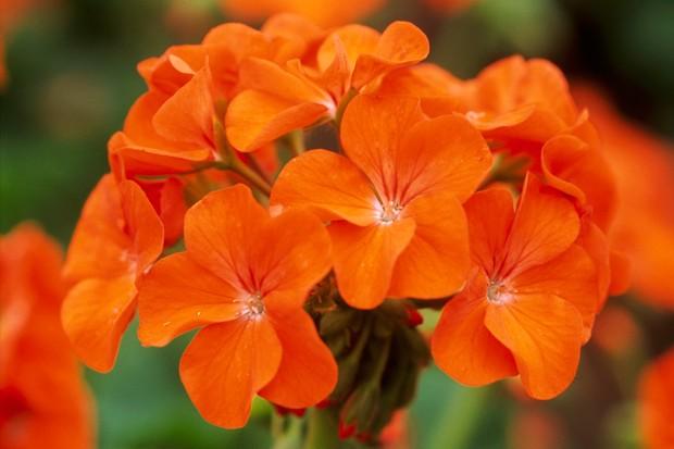 pelargoniums-3
