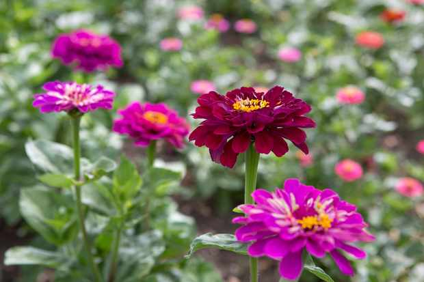 How to sow zinnia seeds indoors