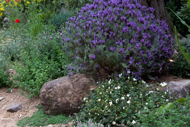 french-lavender-growing-in-a-gravel-garden-2