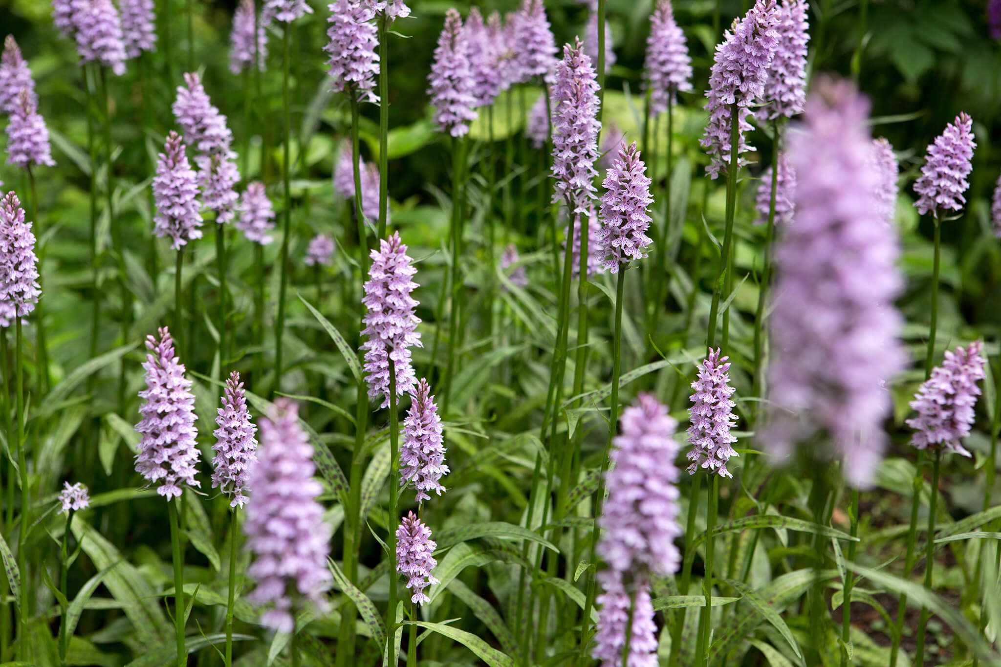Garden identifier to British wildflowers