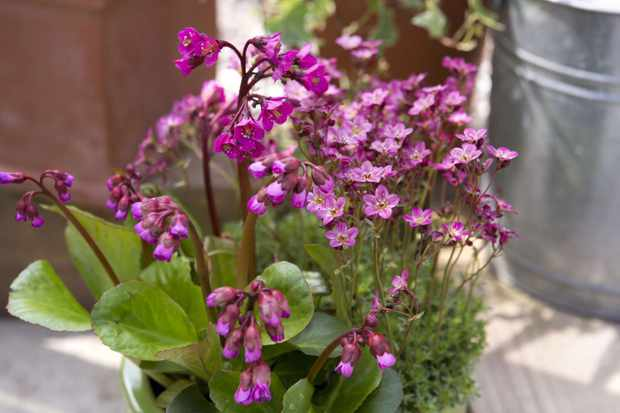Bergenia and saxifrage pot display