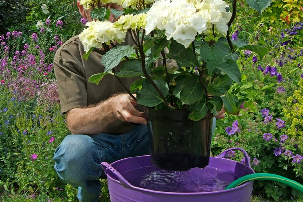 Immersing the whole pot, soil and root ball of a white hydrangea into a trug of water
