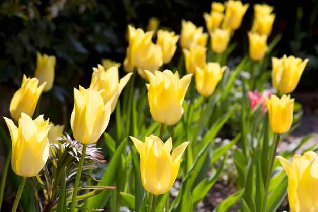 Favourite Yellow Tulips to Grow
