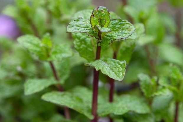 mint-leaves-2