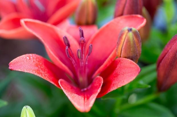 Lilium 'Cocopa': deep-pink bowl-shaped bloom