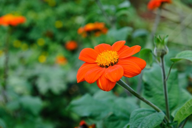 Searing-orange Mexican sunflowers
