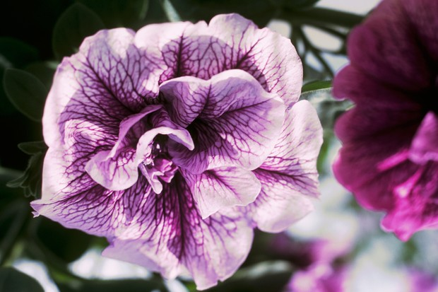night-scented-plants-petunia-2