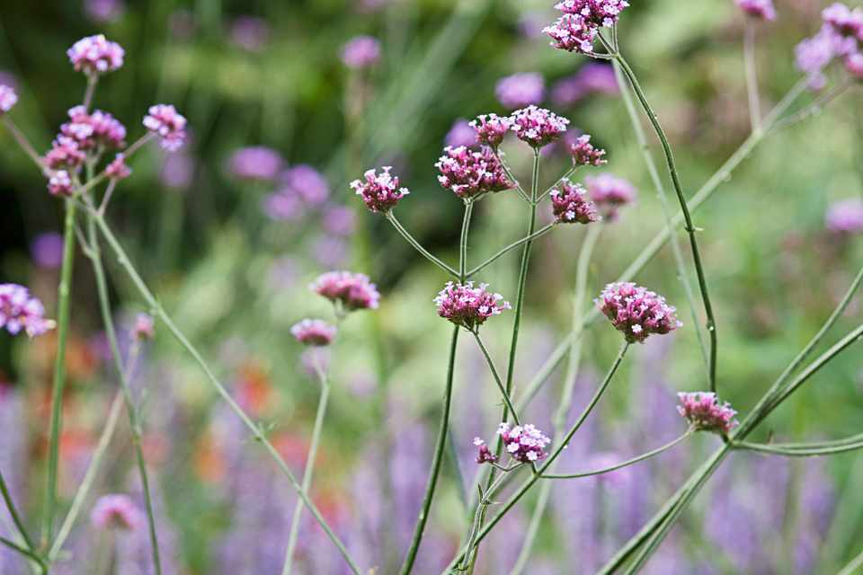 Small purple flowers of Verbena bonariensis on tall stems
