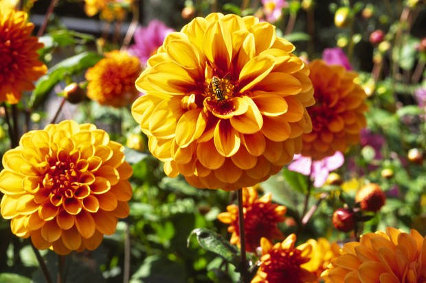 Amber pompon blooms of Dahlia 'David Howard'