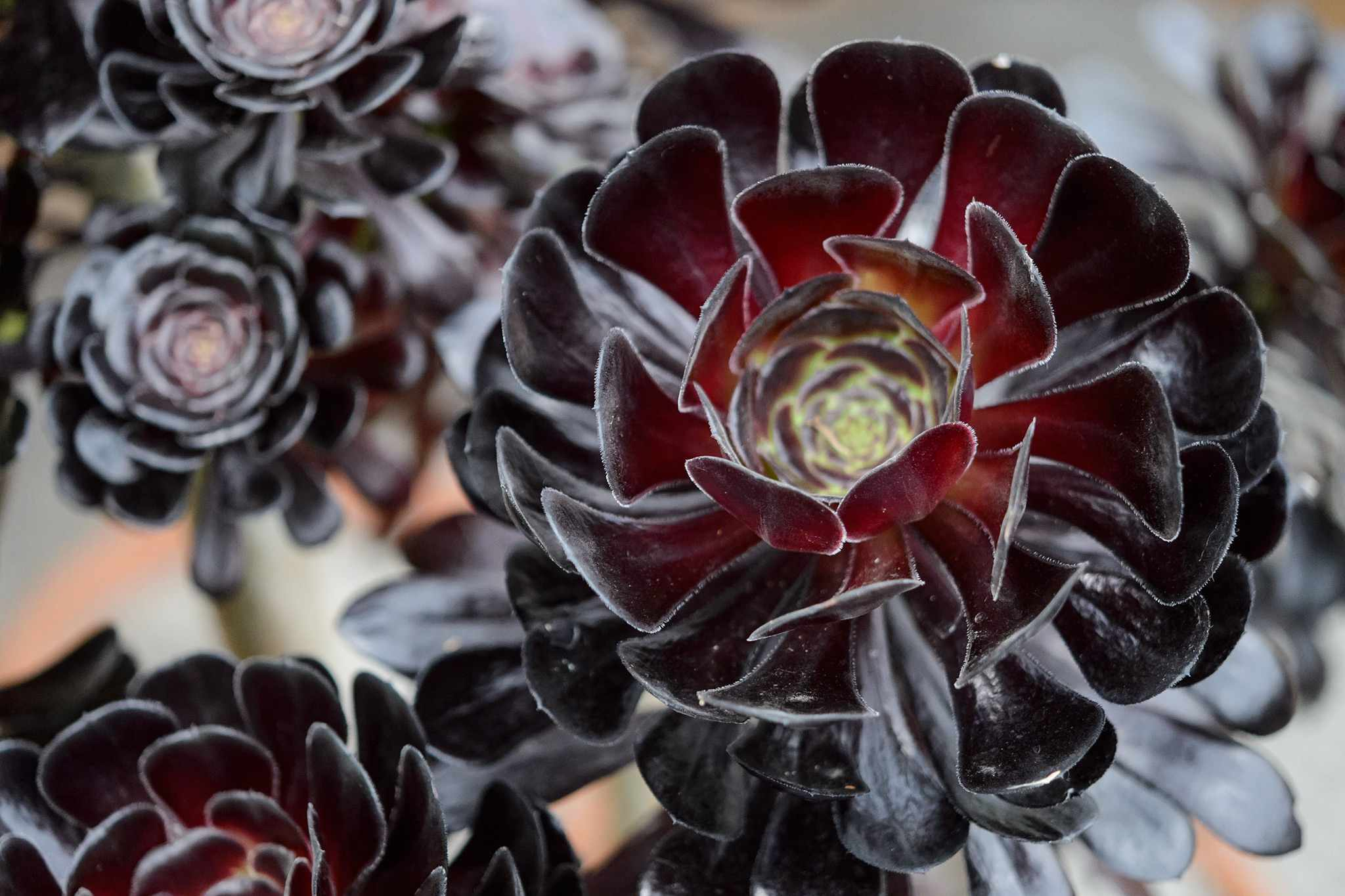 How to take aeonium cuttings