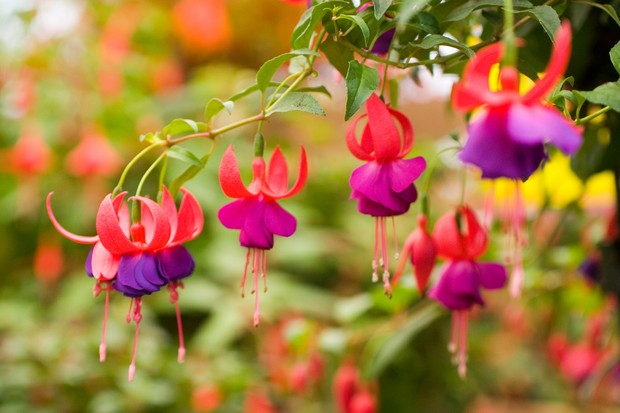 Semi-double, purple and pink-red flowers of <em>Fuchsia</em> 'Army Nurse'