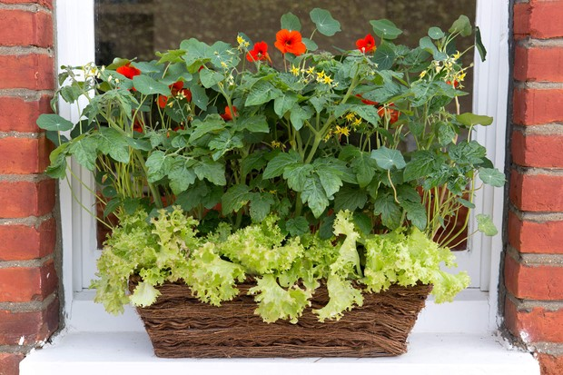 Nasturtiums and lettuce in a window box