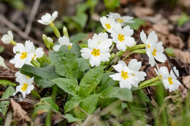 primula-vulgaris-in-flower-3