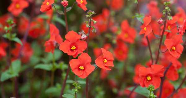 Best Plants With Red Flowers Gardenersworld