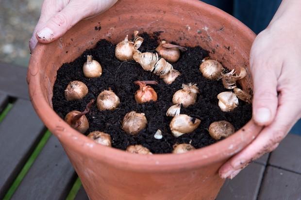 planting-crocus-bulbs-2