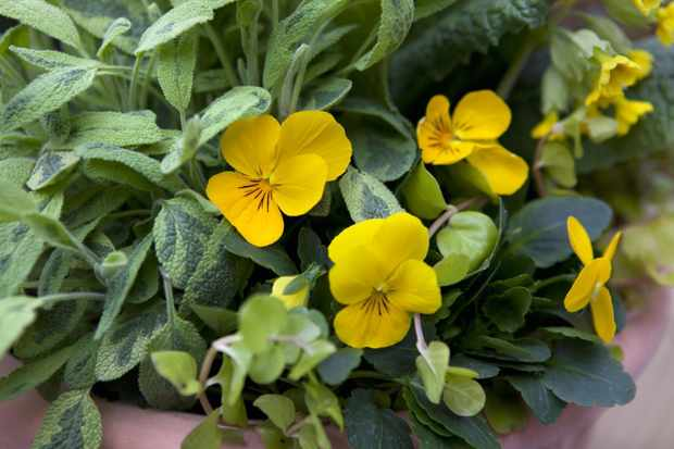 Pansies and sage in a pot