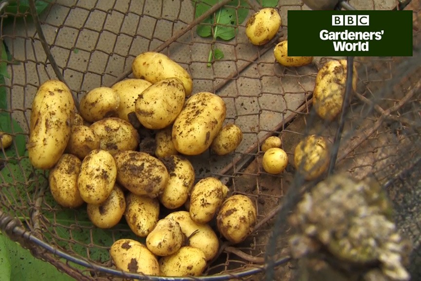 How to harvest early potatoes video