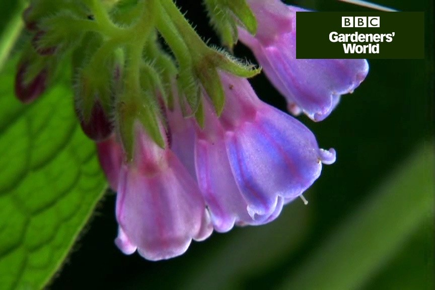 How to make comfrey feed video