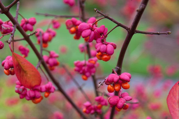 Vivid pink and orange fruit of the spindle tree