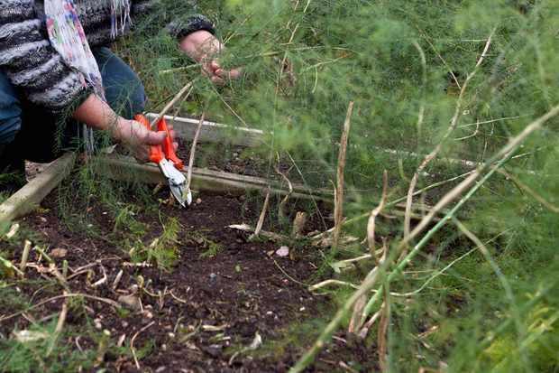 cutting-back-asparagus-foliage-2