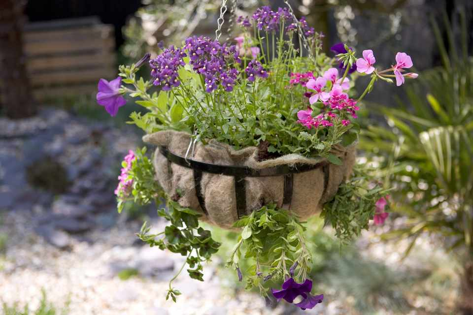 Geranium, nemesia and petunia hanging basket
