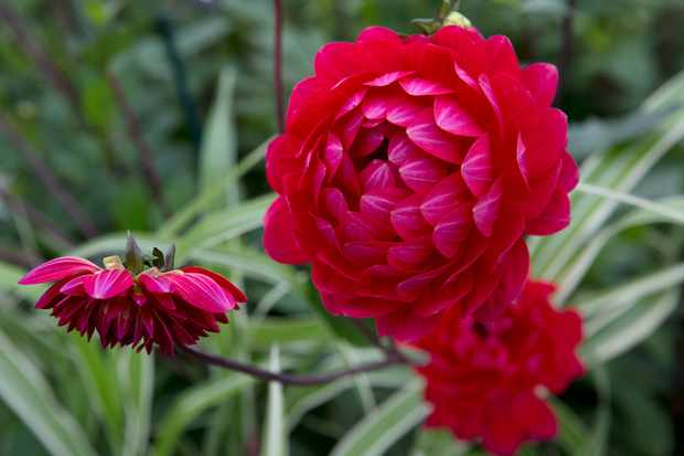Dahlia 'Christopher Taylor' red flower