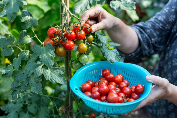 picking-tomatoes-2