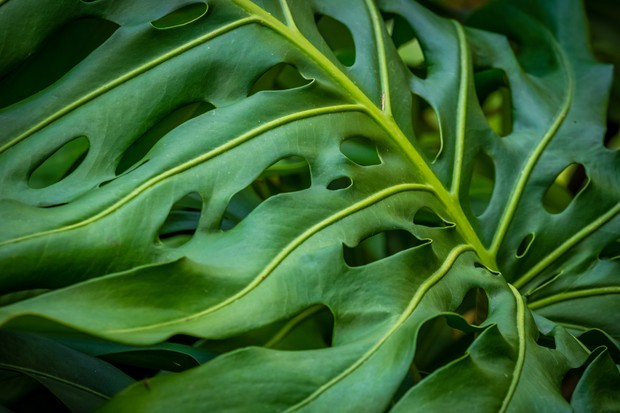 monstera-deliciosa-swiss-cheese-plant-credit-getty-images-2