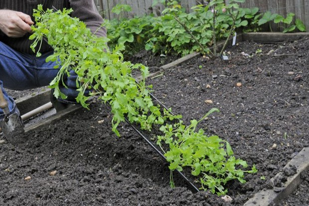 Transplanting the whole row of salad seedlings in one go