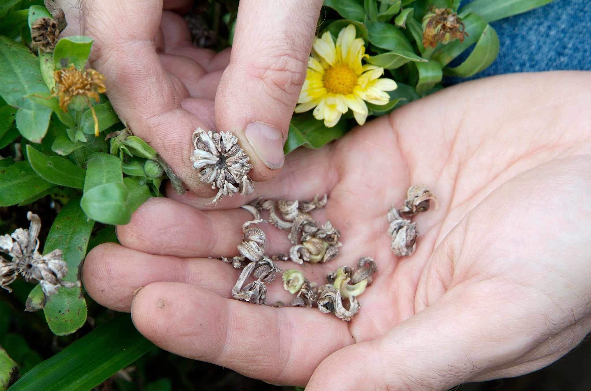 How to save calendula seed