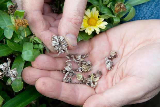 How to save calendula seed