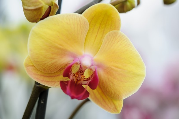 phalaenopsis-golden-beauty-3