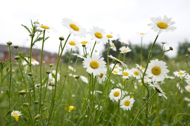 Ox-eye daisies in flower (Leucanthemum vulgare)