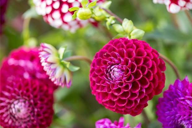 Purple-red blooms of <em>Dahlia</em> 'Cornel'