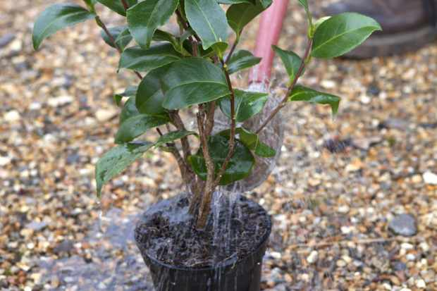 watering-the-camellia-before-planting-2