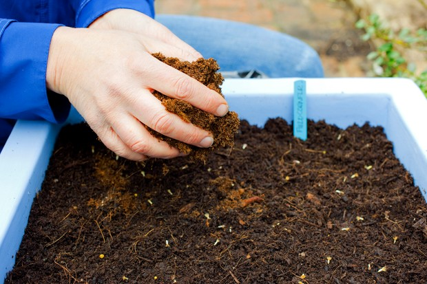 Covering the seed with compost