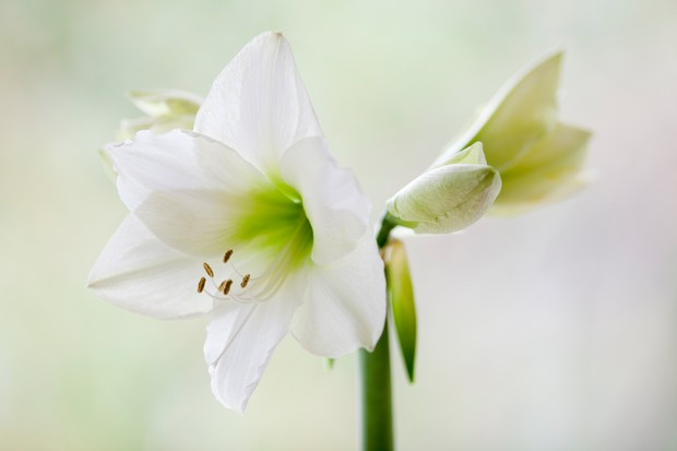 Large white flowers of Hippeastrum 'Mont Blanc', with lime green centres