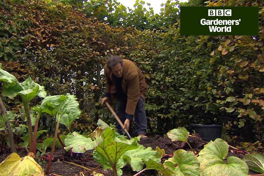 How to divide rhubarb in autumn