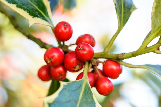 red-holly-berries-and-foliage-2
