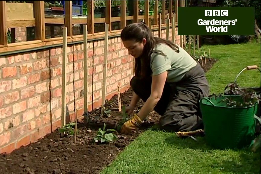 How to grow dahlias for cut flowers video