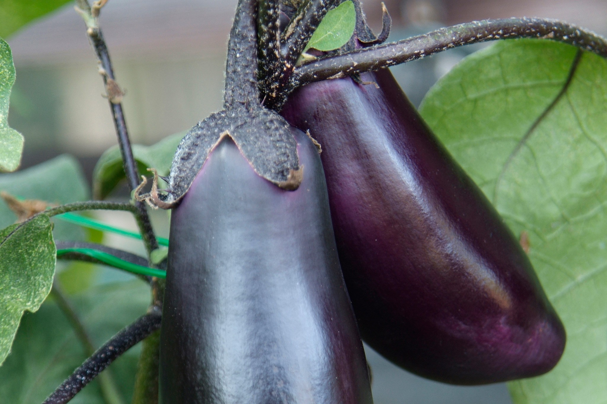 Aubergines – Grow Guide