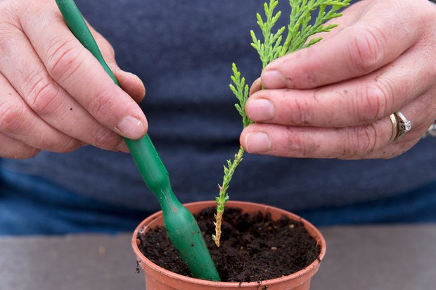 how-to-take-cuttings-from-conifers-inserting-into-compost-2