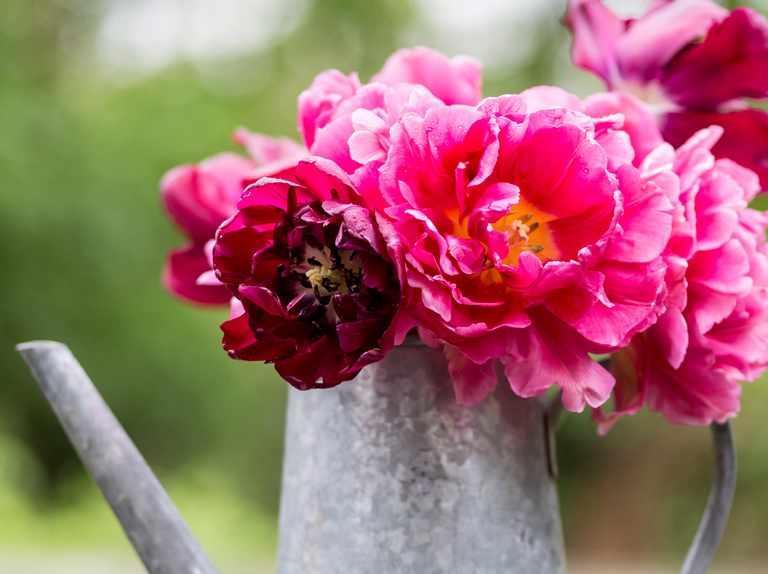 Best peony-flowered tulips to grow