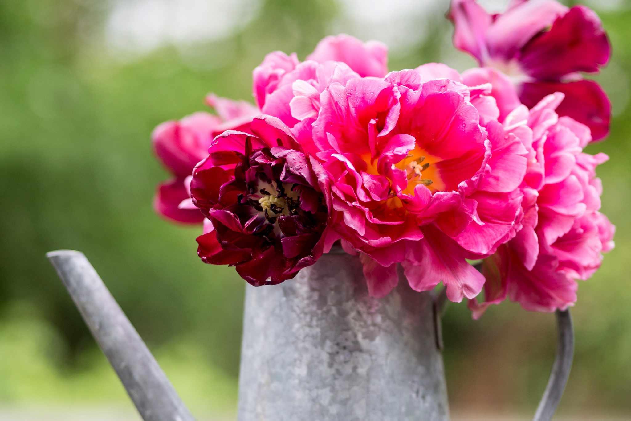 Favourite Peony Tulips to Grow