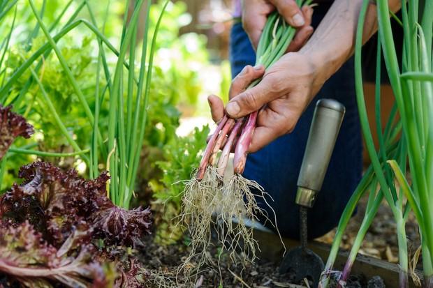 Harvesting spring onions